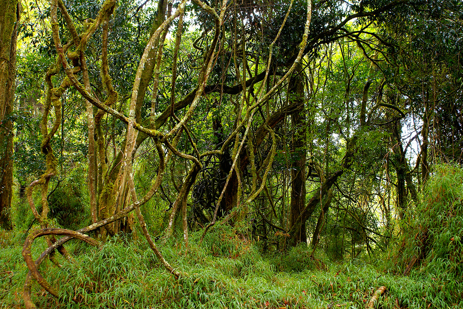 Image result for forest with vines